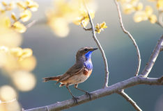 Portrait of the Bluethroat bird is in the spring garden on a blo. Ssoming tree branch Stock Image
