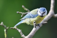 Bluetit perching on a branch. Portrait of a bluetit perched on a branch in the garden Royalty Free Stock Photo