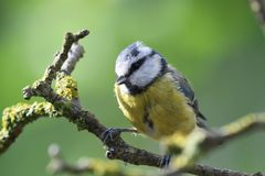 Bluetit perching on a branch. Portrait of a bluetit perched on a branch in the garden Royalty Free Stock Photos