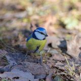 Portrait of bluetit. In the spring closeup Royalty Free Stock Photography