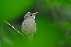 Portrait of Blyth's reed warbler in green Royalty Free Stock Images