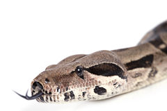 Portrait of Boa snake closeup Royalty Free Stock Image