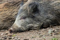 Portrait of a boar Stock Photo