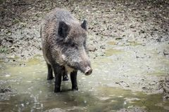 Portrait of a boar Royalty Free Stock Photos