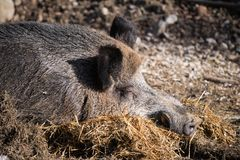 Portrait of boar wild pig sleeping on ground floor in sunlight. Slovenia royalty free stock photos