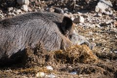 Portrait of boar wild pig sleeping on ground floor in sunlight. Slovenia royalty free stock photo