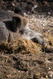 Portrait of boar wild pig sleeping on ground floor in sunlight. Slovenia stock images