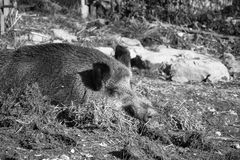 Portrait of boar wild pig sleeping on ground floor in sunlight in black and white. Portrait of boar wild pig sleeping on ground floor in sunlight, slovenia royalty free stock photo