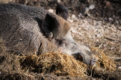 Portrait of boar wild pig sleeping on ground floor in sunlight. Slovenia royalty free stock images