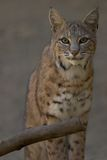 Portrait of a Bobcat Stock Photos
