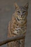 Portrait of a Bobcat. 3/4 length portrait of a bobcat, staring into the camera Stock Photos