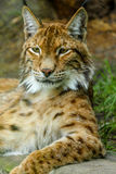 Portrait of a bobcat. Lying on the rock under the tree Royalty Free Stock Image