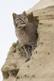 Portrait of bobcat in sand formation Stock Photography