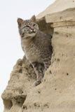 Portrait of bobcat in sand formation. Portrait of a bobcat in mud formation Stock Photography