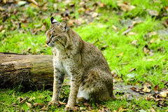 Portrait of a Bobcat. A bobcat sitting next to a log in the green grass Royalty Free Stock Photo