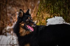 Portrait of Bohemian Shepherd on konopiste. Bohemian Shepherd at snow time. Photo from my third Photoworkshop on Konopiste. It was amazing experience. I love royalty free stock photos