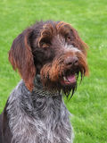 Portrait of Bohemian Wire-haired Pointing Griffon Stock Photo