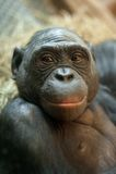 Portrait of a  Bonobo monkey Royalty Free Stock Image