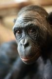 Portrait of a  Bonobo monkey Royalty Free Stock Images