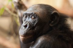 Portrait of a  Bonobo monkey Stock Image