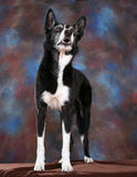 Portrait of a Border Collie. A portrait of a black and white Border Collie Stock Photos
