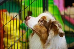 Dog breed border collie. Portrait of a border collie breed puppy stock images