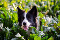Portrait of border collie Royalty Free Stock Photo