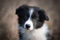 Head of border collie in field stock photos