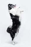 Portrait of a Border Collie on a grey background, rearing up Stock Images