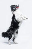Portrait of a Border Collie on a grey background, rearing up stock image