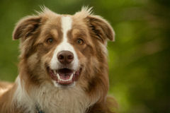 Portrait of border collie. Happy dog photographed outside in the forest stock photos