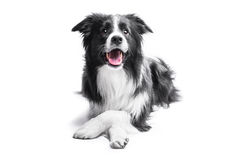 Portrait of a Border Collie on a light background Royalty Free Stock Images
