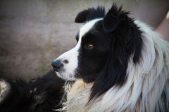 Portrait of border collie lying on the field Royalty Free Stock Photos