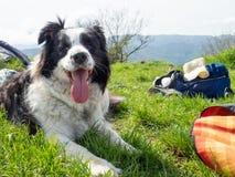 Portrait of Border Collie Outdoors. Portrait of Breed dog Border Collie outdoors in Green Meadow stock image