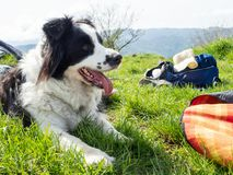 Portrait of Border Collie Outdoors. Portrait of Breed dog Border Collie outdoors in Green Meadow royalty free stock image