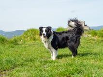 Portrait of Border Collie Outdoors. Portrait of Breed dog Border Collie outdoors in Green Meadow stock images