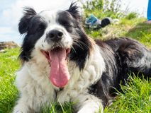 Portrait of Border Collie Outdoors. Portrait of Breed dog Border Collie outdoors in Green Meadow stock photography