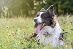 Portrait of the Border Collie outdoors Stock Image