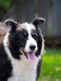 Portrait of Border Collie. Portrait of Phoebe the border collie in New Zealand Stock Photos
