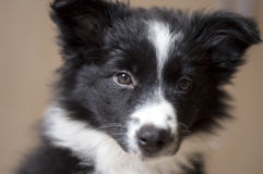 Portrait of a border collie puppy Royalty Free Stock Photo