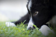 Portrait of a border collie puppy Royalty Free Stock Image
