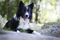 Portrait of a border collie puppy relaxing among rocks Stock Images