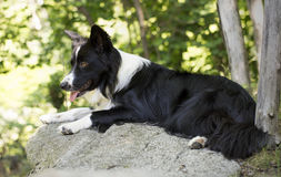 Portrait of a border collie puppy relaxing among rocks Royalty Free Stock Photography