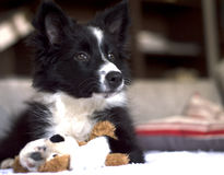 Portrait of a border collie puppy on the sofà. Portrait of a border collie puppy relaxed on the sofà whit his toy royalty free stock image