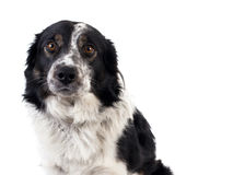 Portrait of a border-collie in studio isolated on white stock photo