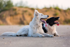 Portrait of a border collie and a white German shepherd. Who are lying on the asphalt royalty free stock photography