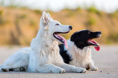 Portrait of a border collie and a white German shepherd. Who are lying on the asphalt stock photo