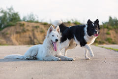 Portrait of a border collie and a white German shepherd. Who are lying on the asphalt royalty free stock photos