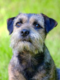 Portrait of Border terrier Royalty Free Stock Photo