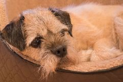 Portrait of Border Terrier. Portrait of Border Terrier, all snuggled up and comfy in a basket Stock Photo
